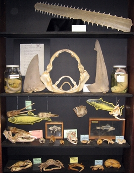 Fish bones and fossils cabinet